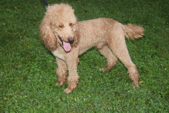 Riley, dad to the F1 goldendoodles.