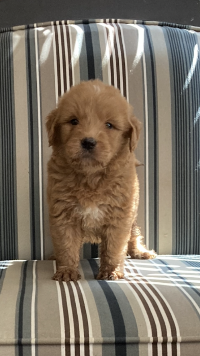 Male Goldendoodle for sale