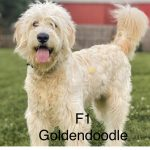 Full Grown Goldendoodle